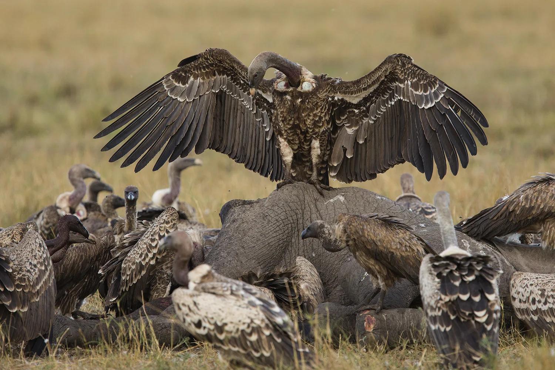 Vultures on elephant 3
