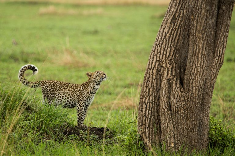 Leopard cub in the Maasai Mara