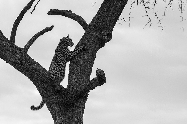 Leopard cub tree bw
