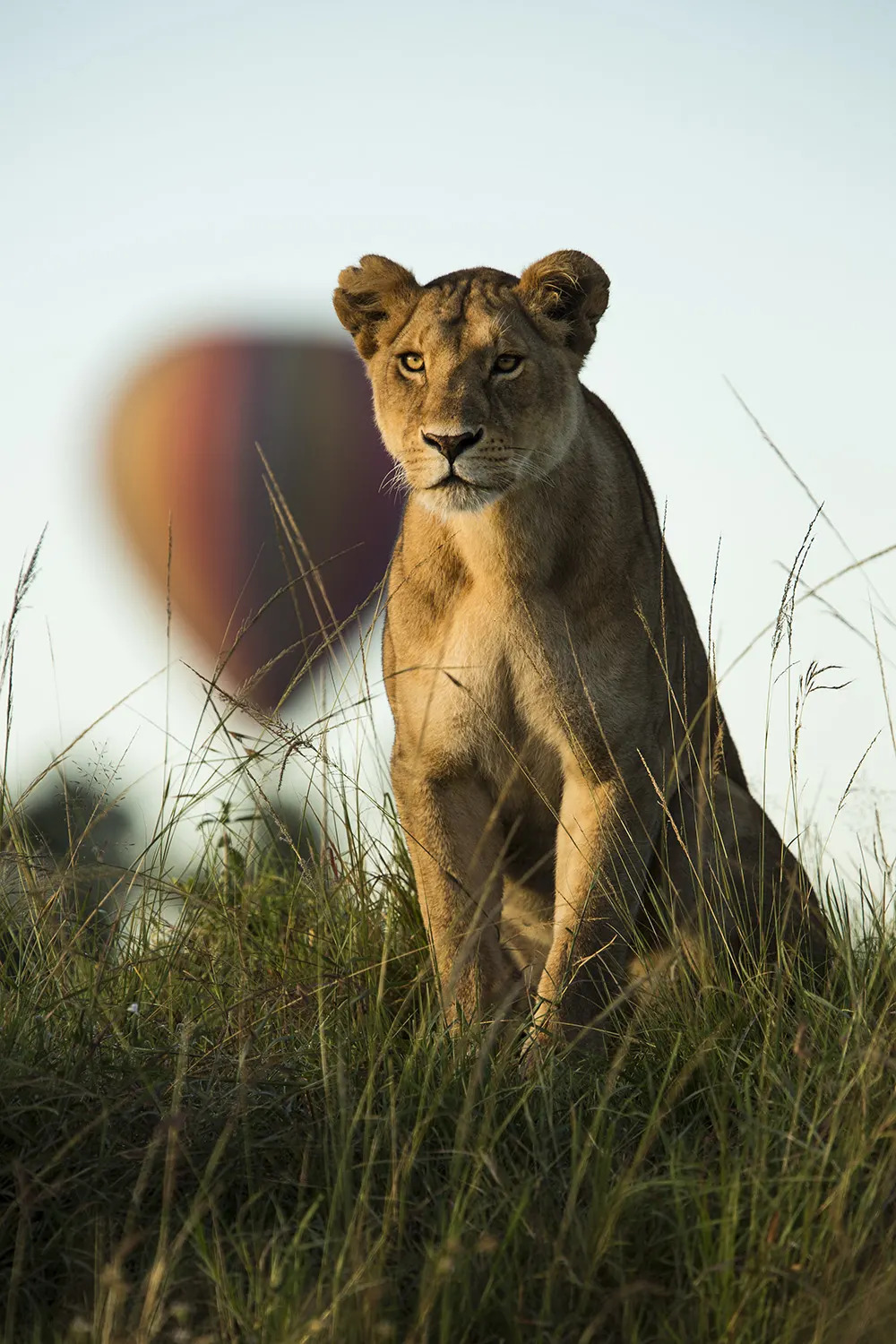 Lioness and balloon