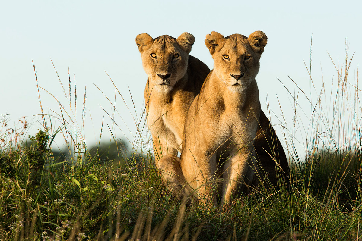 Two-lionesses in the Maasai Mara
