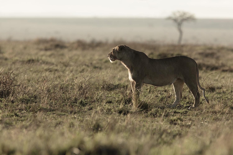Sausage Tree Pride lioness kenya