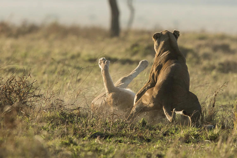 Sausage tree lioness kinky tail