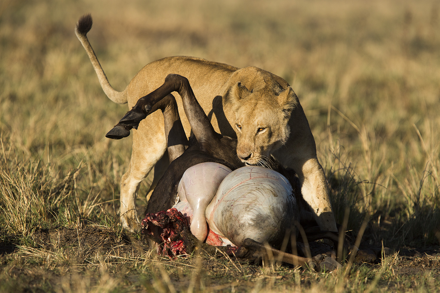Sausage tree lioness moving wildebeest hunting