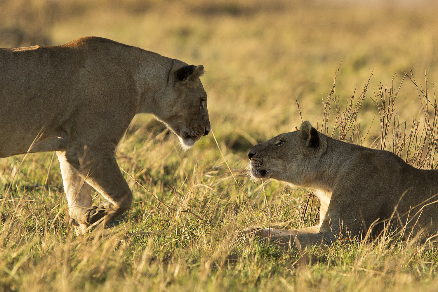 lions greeting eachother