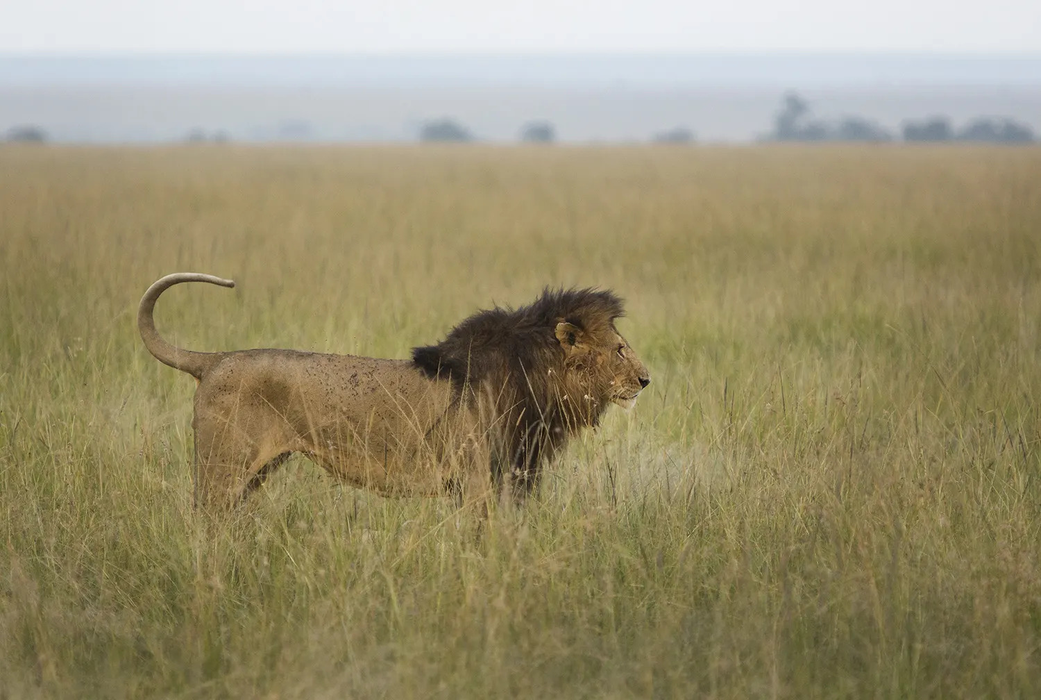 Male lion with half tail