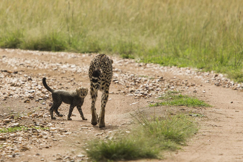 Cheetah cub looking up