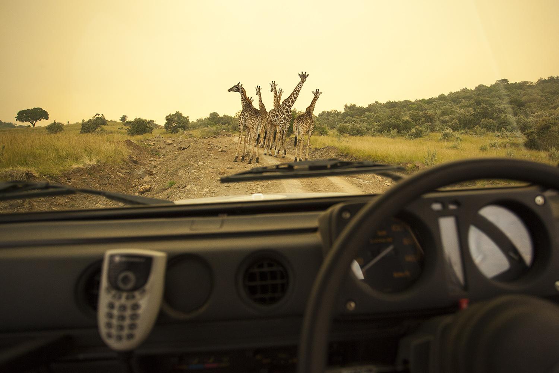 Girafffe on road in car
