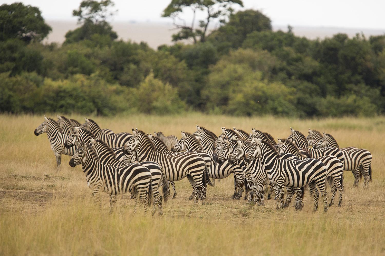 Group Zebra stare