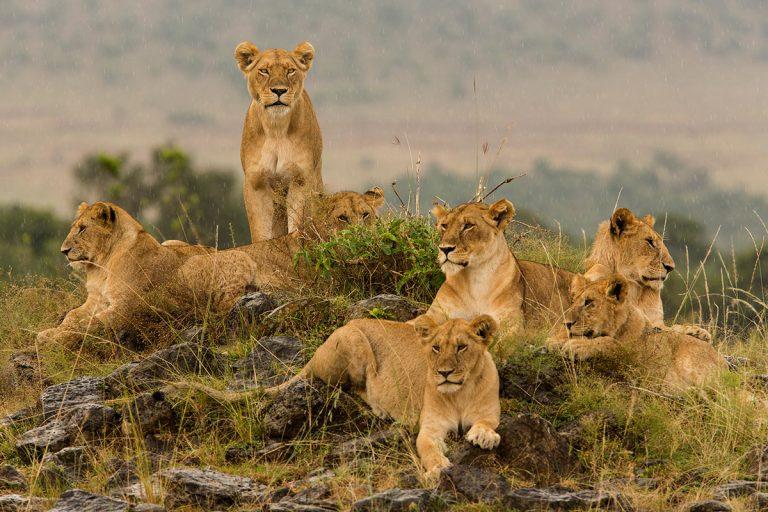 Lion-pride-and-the-stare-in-rain