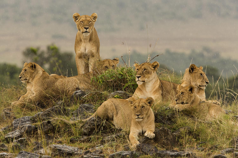 Lion pride and the stare in rain