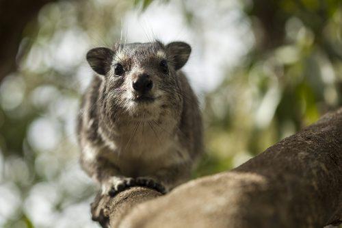 Angama Mara's resident hyrax