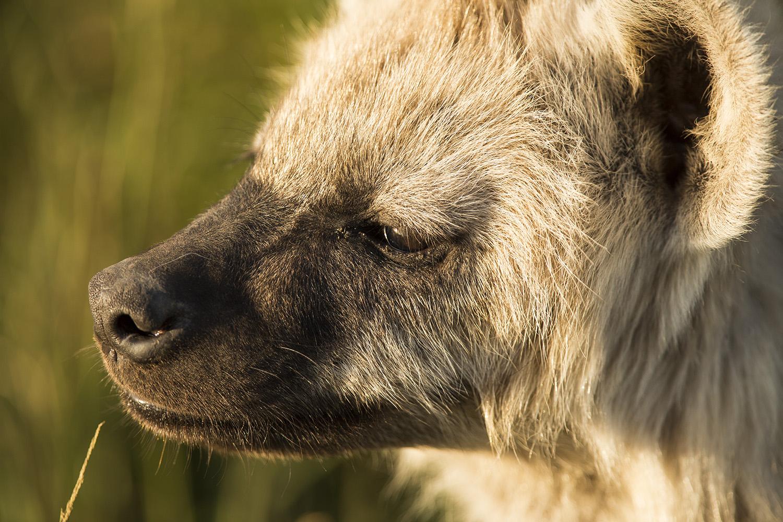 Hyena cub face