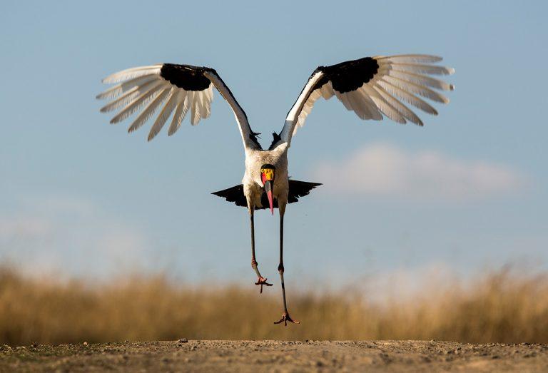 Saddlebilled-stork-takes-flight