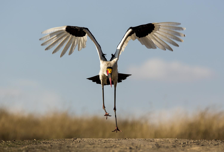 Saddlebilled stork takes flight