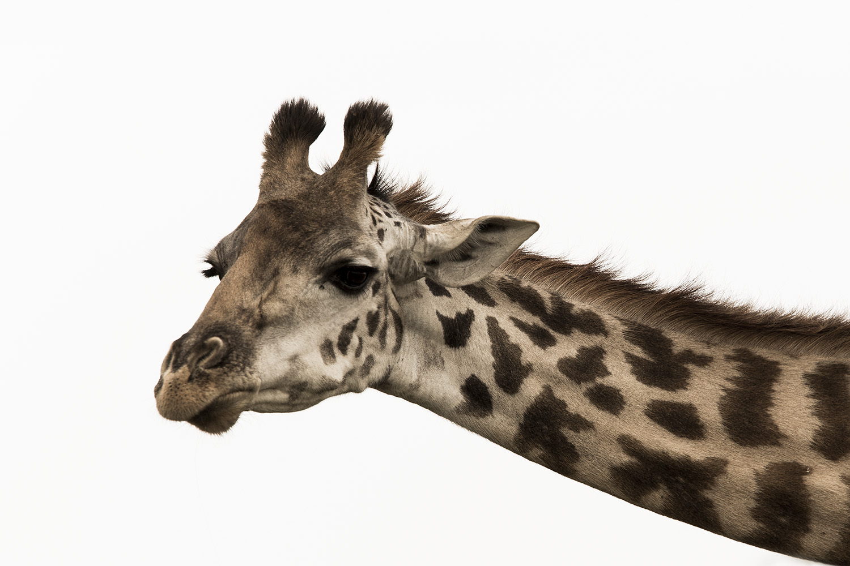 photo of a funky Giraffe