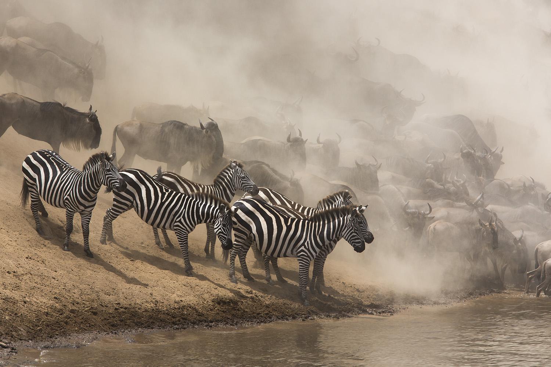 Great Migration Crossing Maasai Mara Zebra and wildebeest crossing