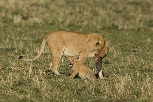 A lioness and her cub photographed by Adam Bannister
