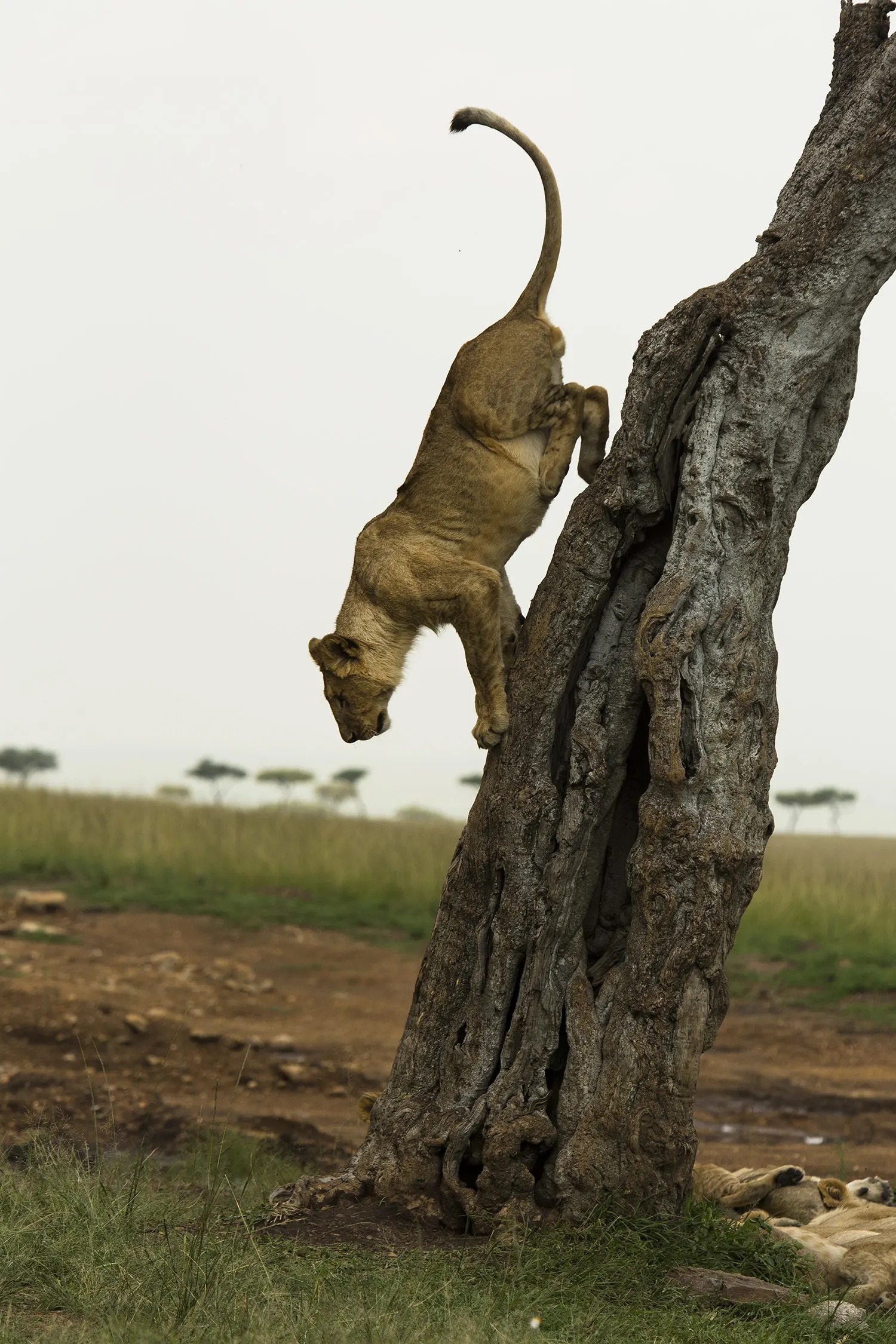 Angama pride cub comes down tree