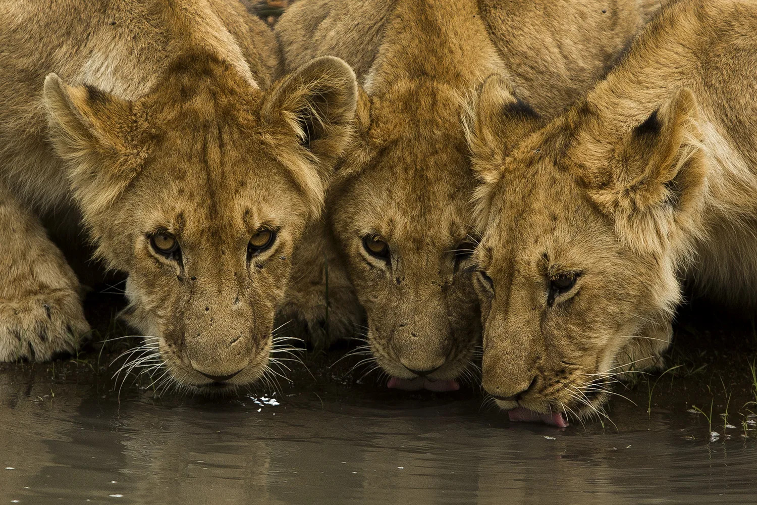 Angama pride cubs drinking