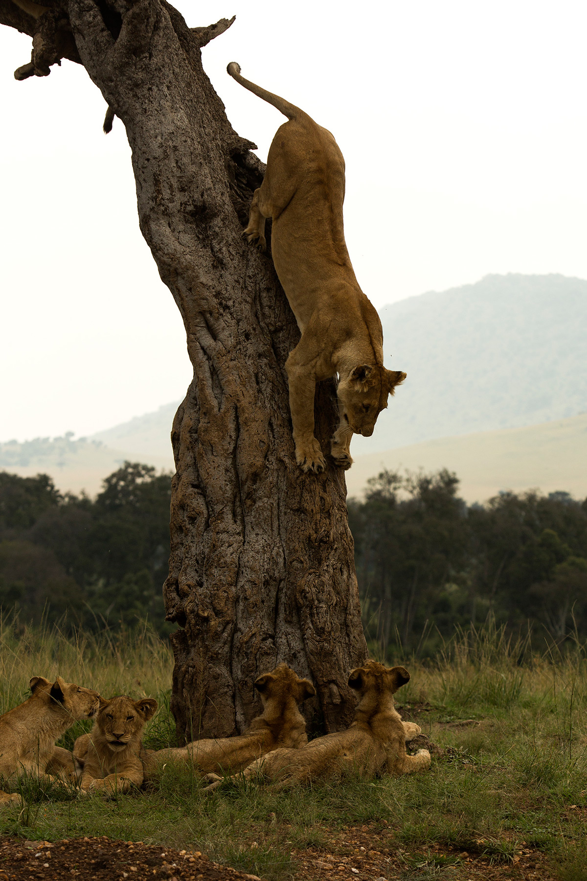 Angama-pride-lion-cub-comes-down-tree-front
