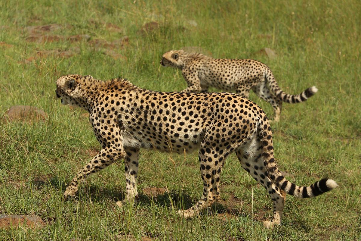 Cheetah abandoning their prey