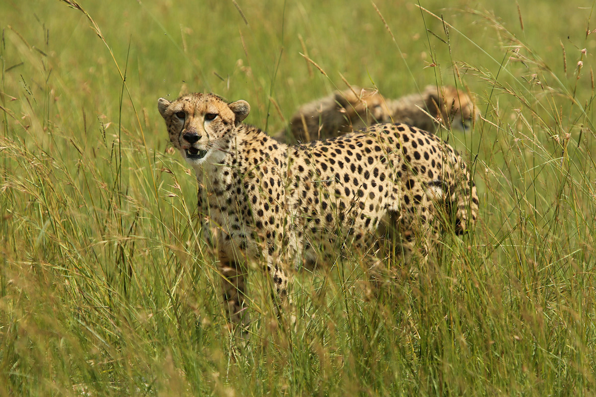 Cheetah looking out for danger