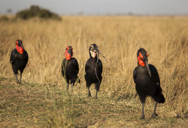 Hornbill family and snake