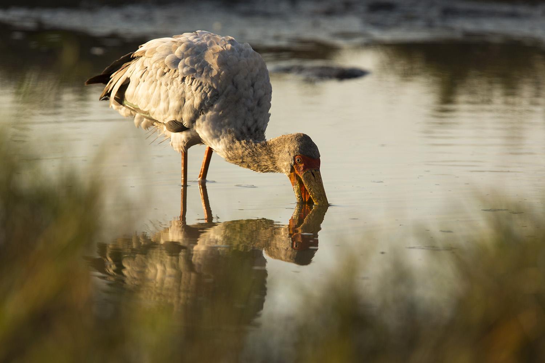 Yeow billed Stork fishing