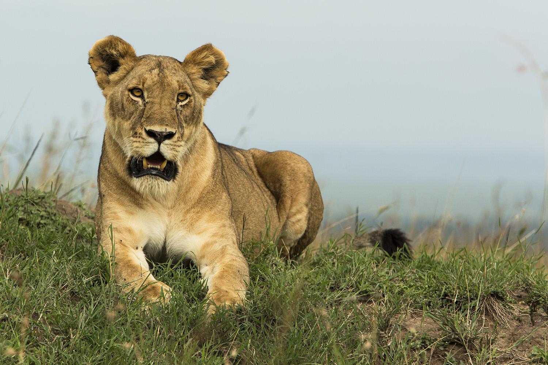 Angama lioness on mound