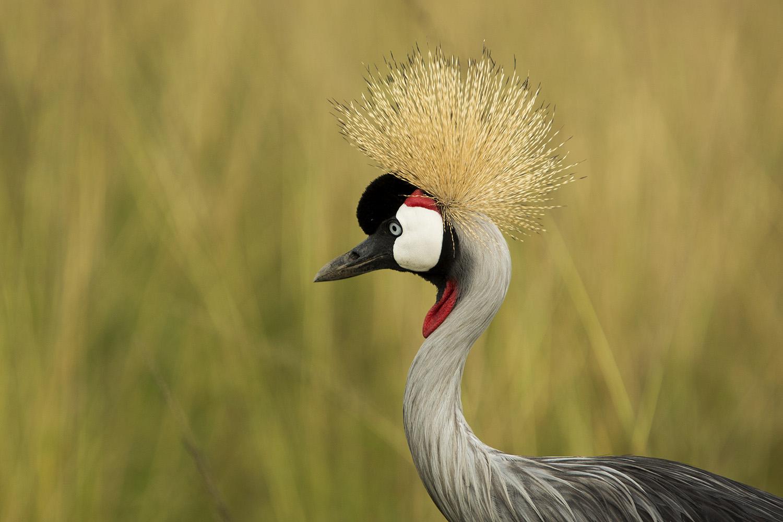 Crowned crane up close