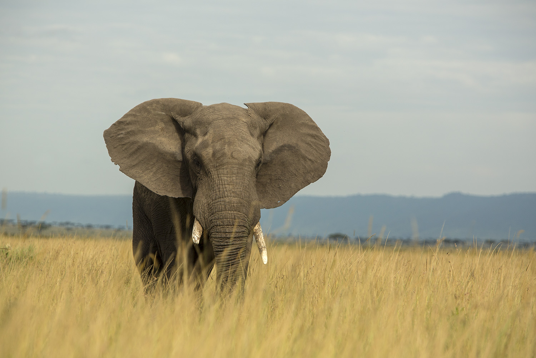 Elephant bull straight on