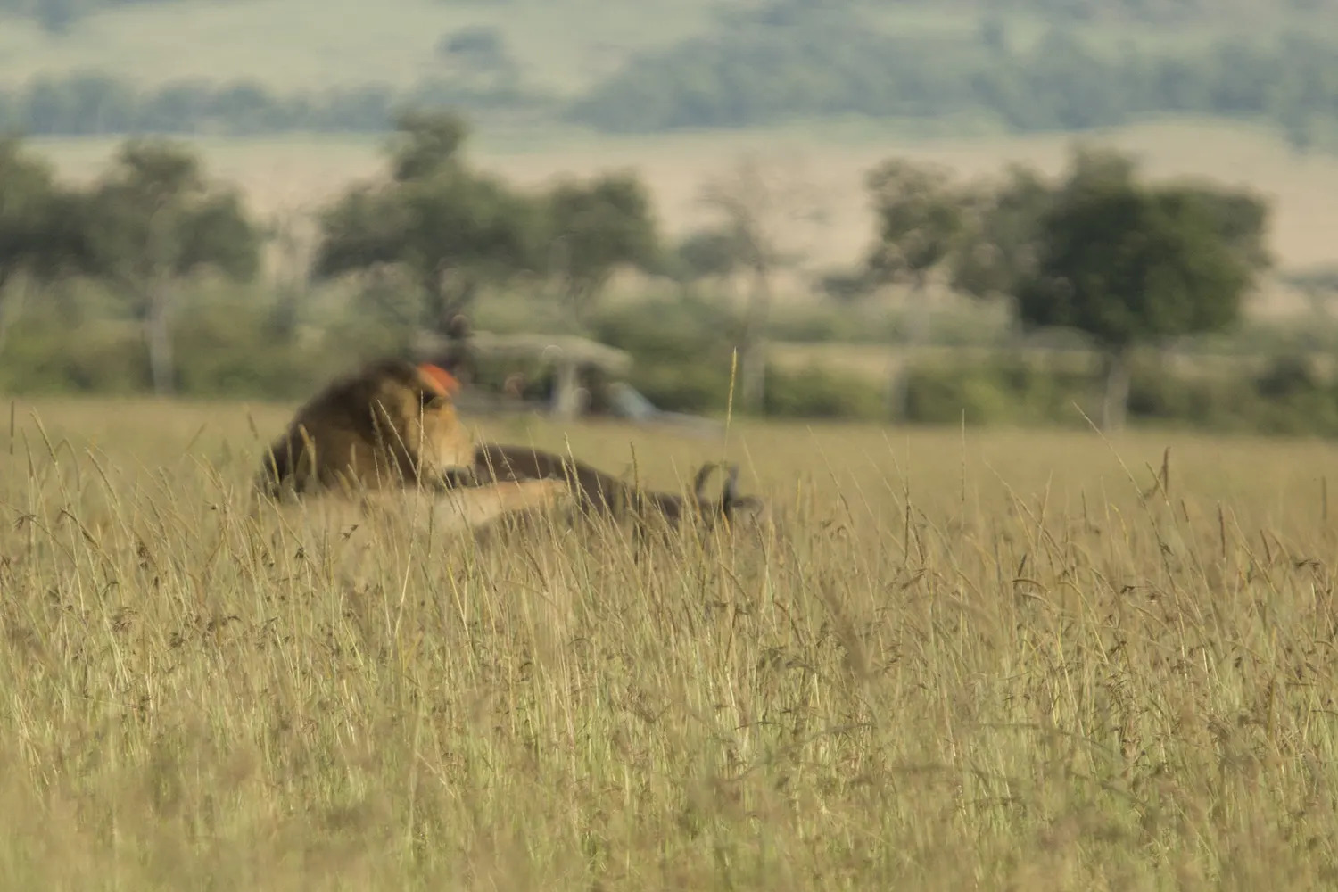 Lion and buffalo blurred