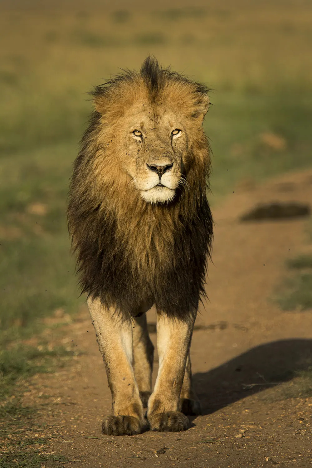 Lion male on road