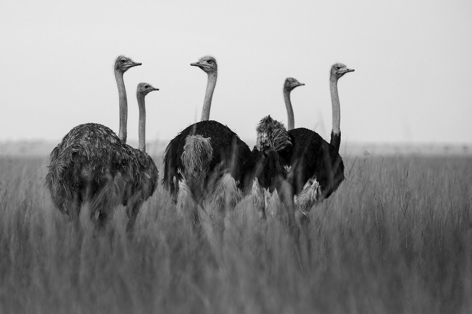 Ostrich family BW
