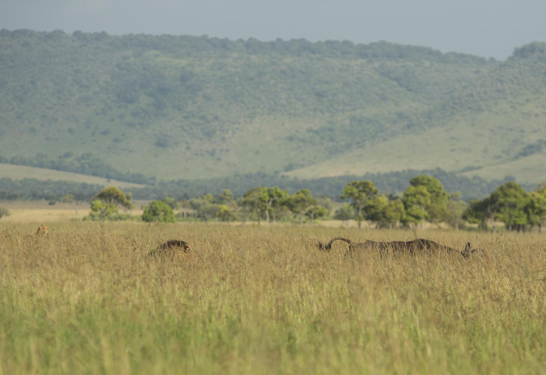 lions chasing buffalo