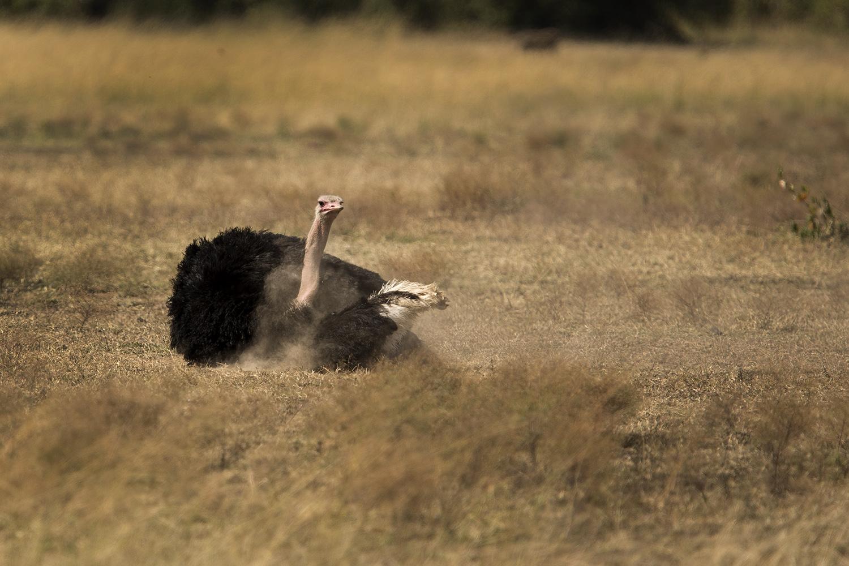 Ostrich dust