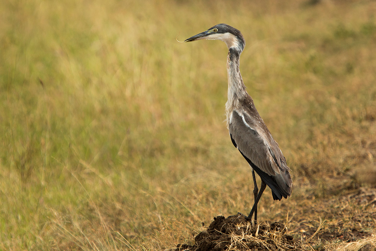 Heron-and-snake-swallow3