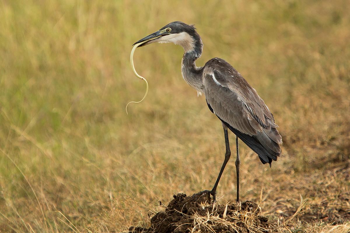 Heron-and-snake-swallow