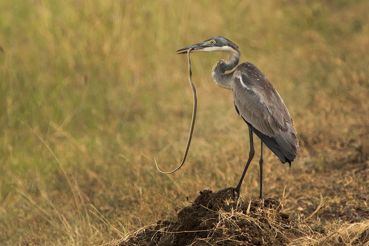 Heron-and-snake