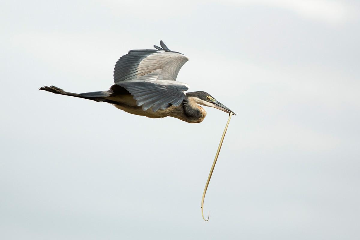 heron-and-snake-flying