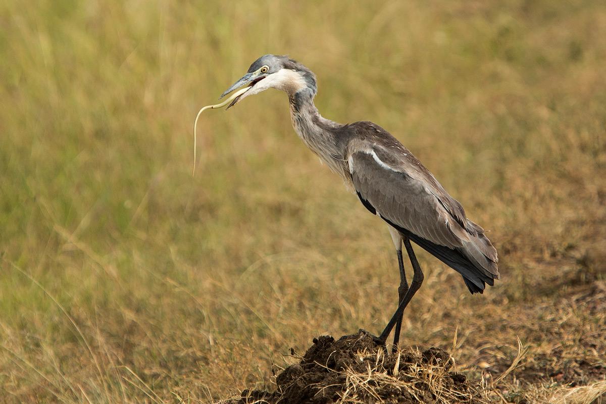 heron-and-snake-swallow2