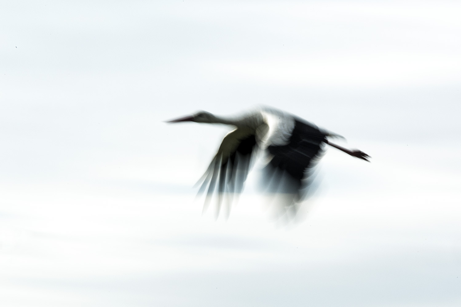 White Stork in flight abstract