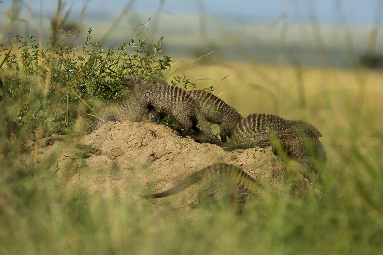 Mongoose on mound