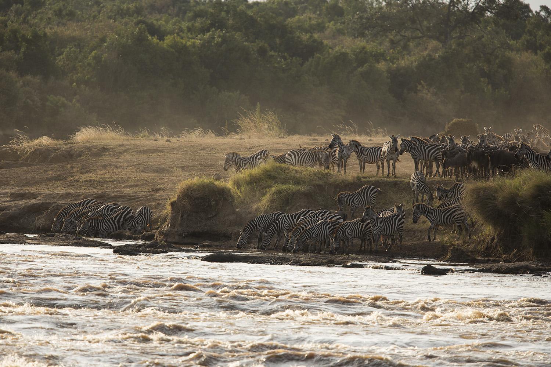 Zebra at a river crossing