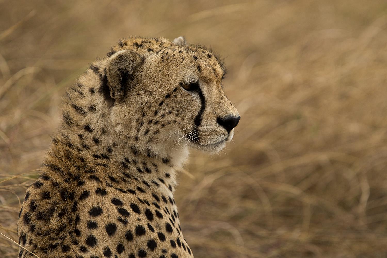 Adolescent Cheetah face maasai mara