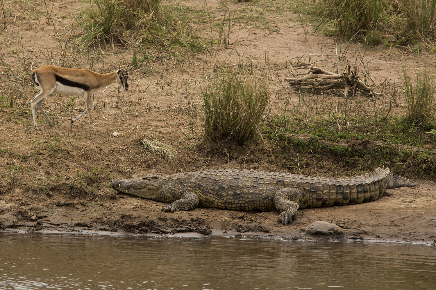 The great migration Crocodile and gazelle
