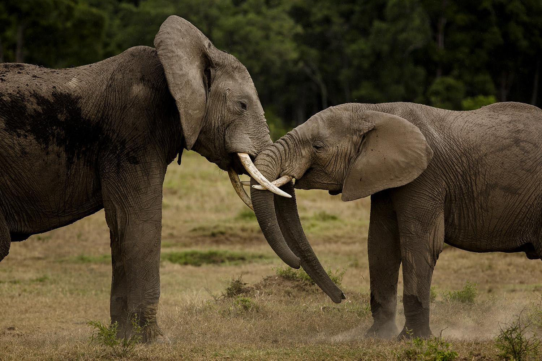 Elephants play