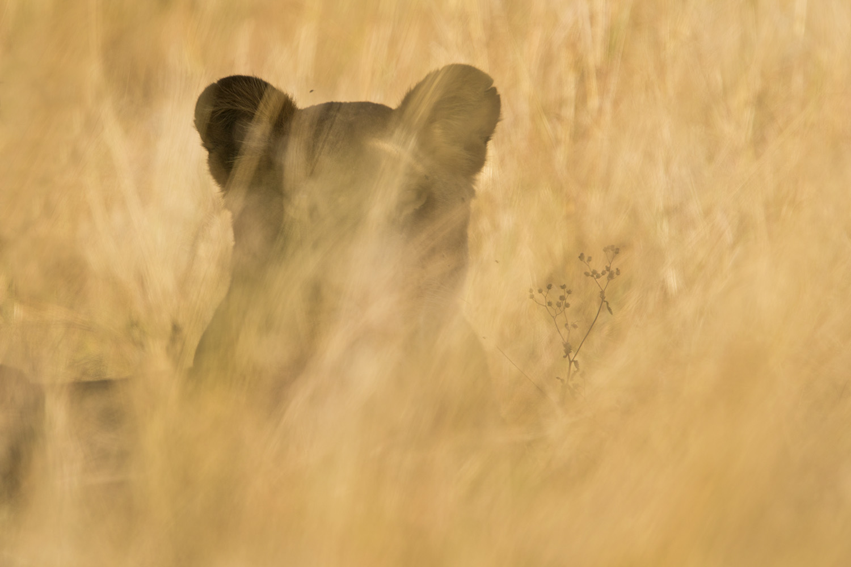 Lioness in blur