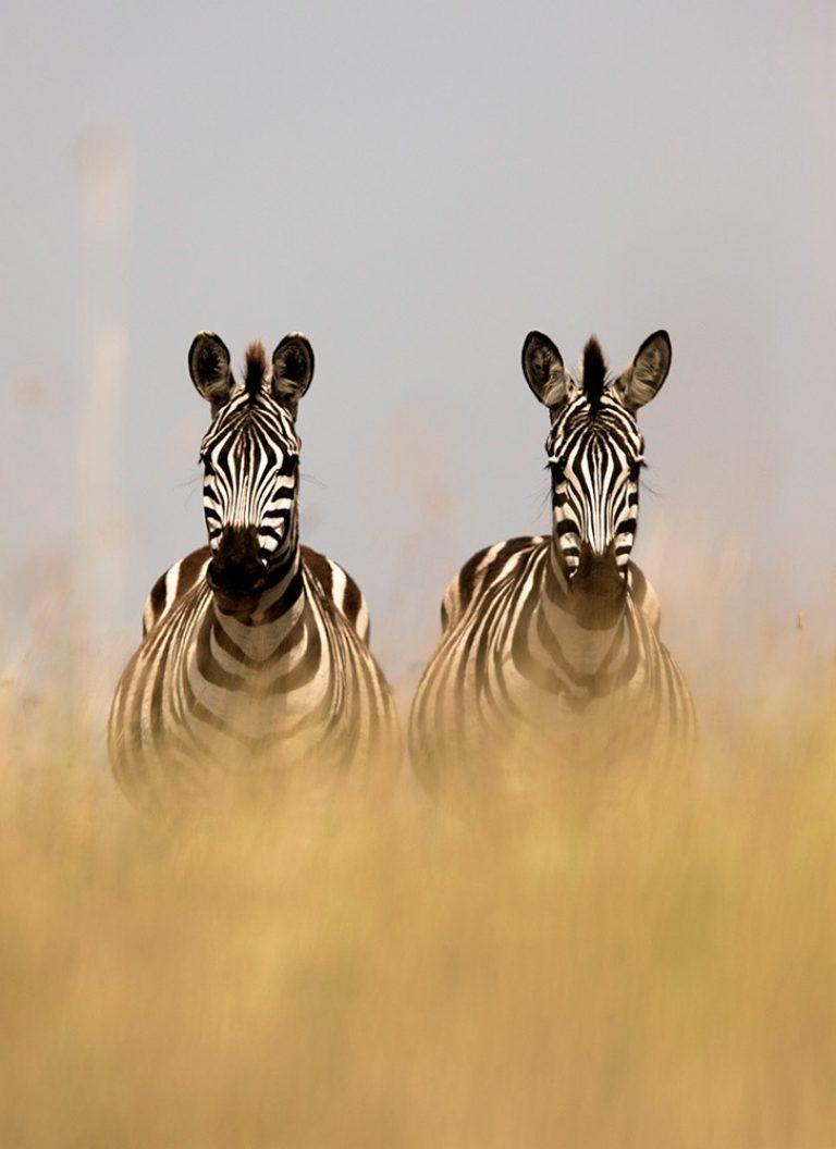 Zebras in the Maasai Mara